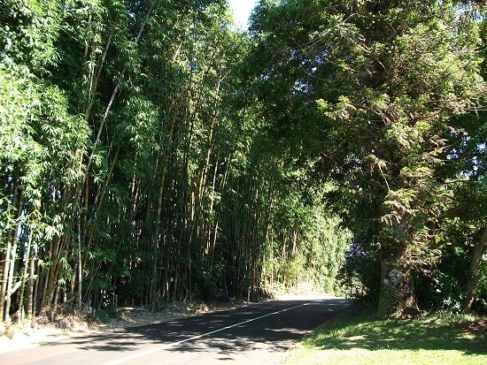 Bamboo and pine tree grove, Mill Road, Flaxton