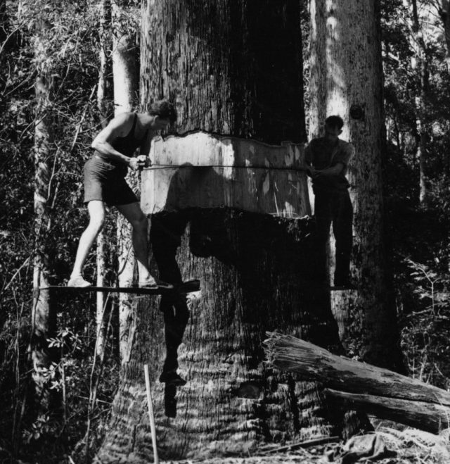 Cross-cut sawyers working from springboards. (National Library of Australia)